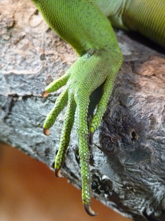 Reptile, Foot, Claw, Ten, Scale