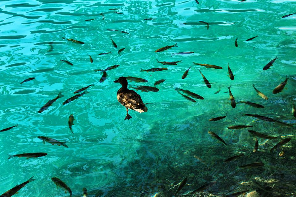Duck And Fish, Fish, Clear Water, Water, Lake, Pond
