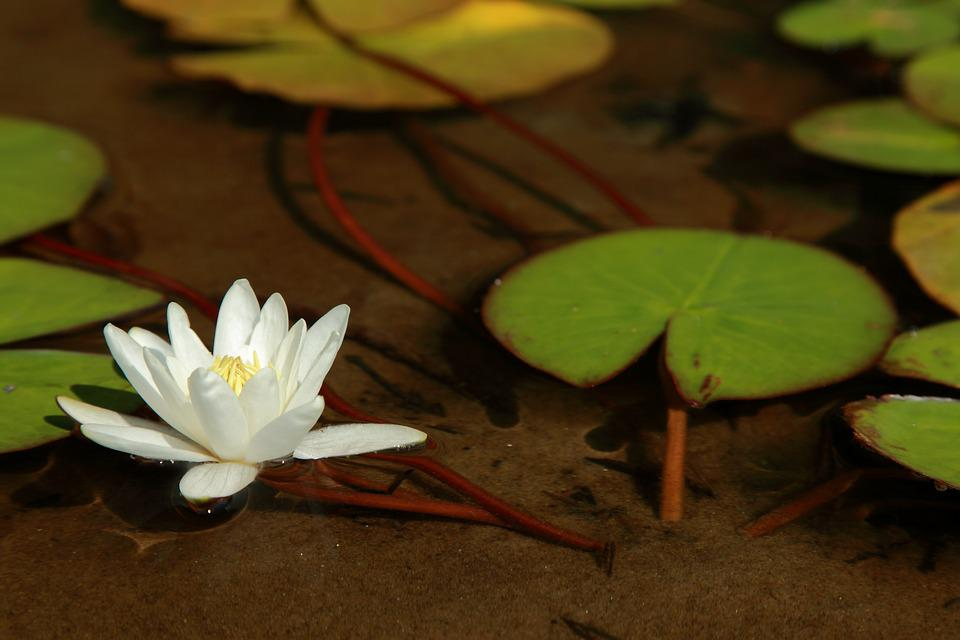 Water Lily Flower, Water Lily Leaf, Lake, Clear Water