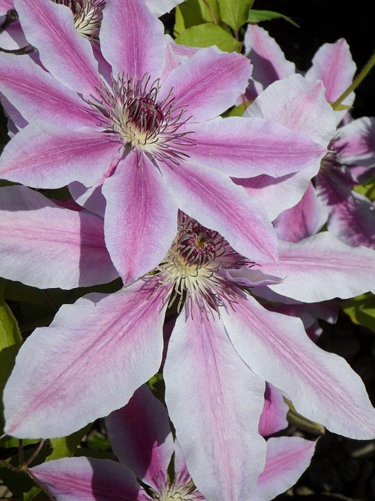 Clematis, Blossom, Bloom, Plant, Flower, Bloom, Purple