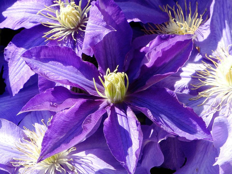 Clematis, Purple, Violet, Dark Purple, Bloom
