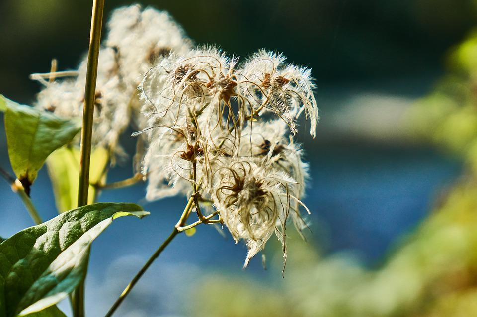 Clematis, Seeds, River