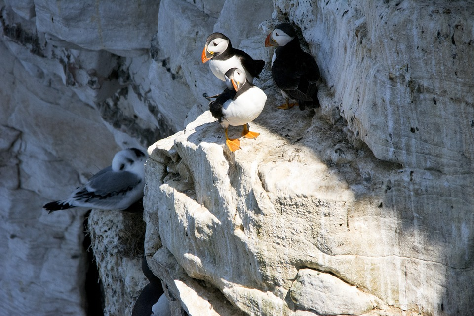 Puffins, Birds, Nature, Wildlife, Beak, Cliff