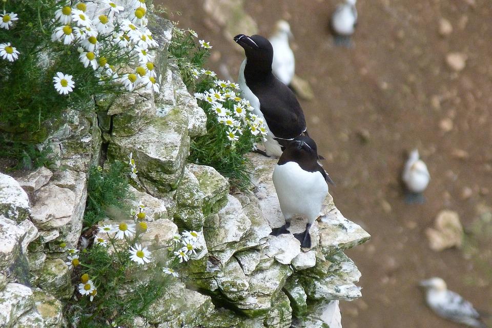 Razorbills, Cliff, Bempton, Seabird, Yorkshire, Nesting