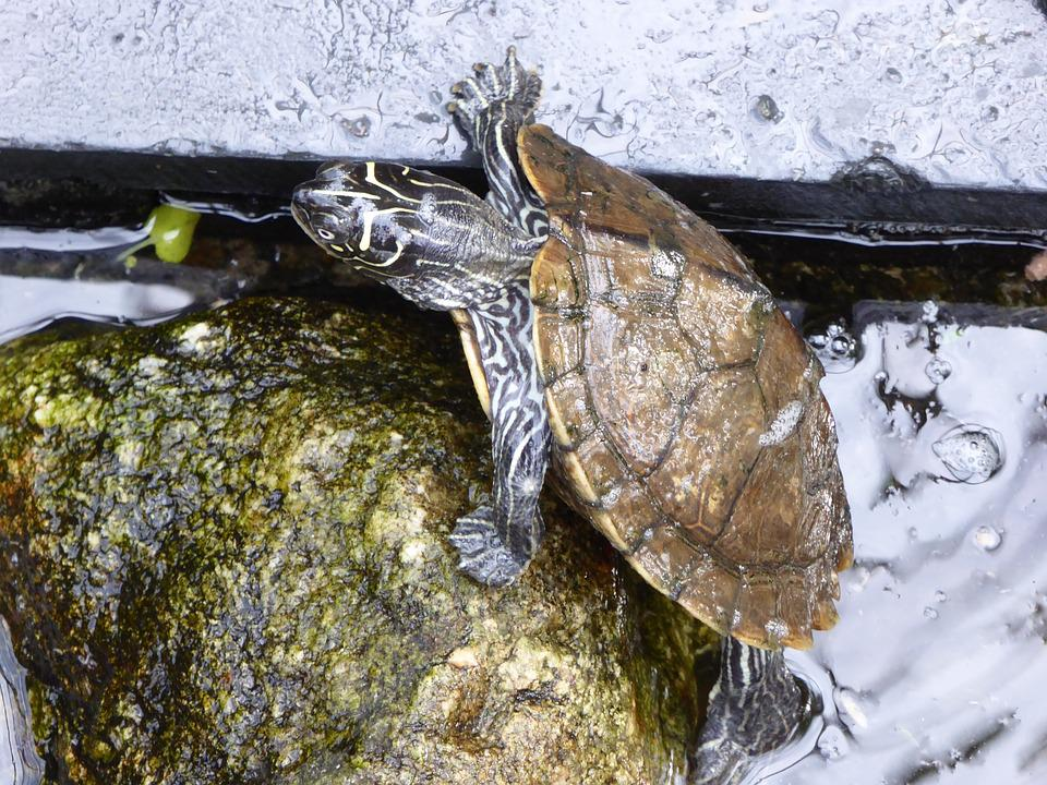 Water Turtle, Climb, Stone, Pond, Water, Creature