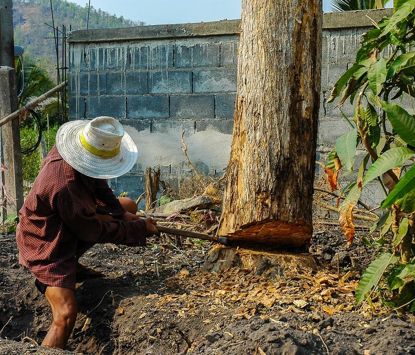 Lumberjack, Man, Tree, Climb, Cases, Dangerous, Thai