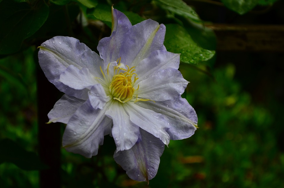 Clematis, Flower, Bloom, Purple, Spring, Green, Climber