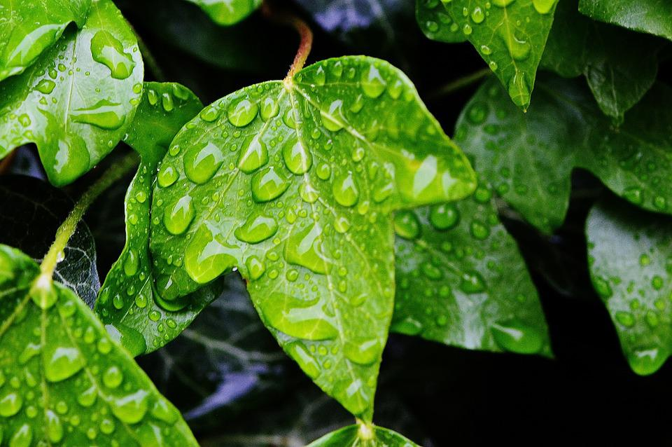 Ivy, Nature, Drip, Ivy Leaf, Climber, Green