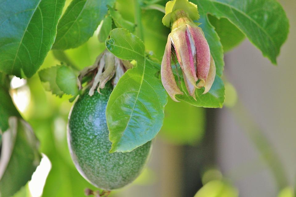Passion Fruit, Passion Flower, Climber Plant