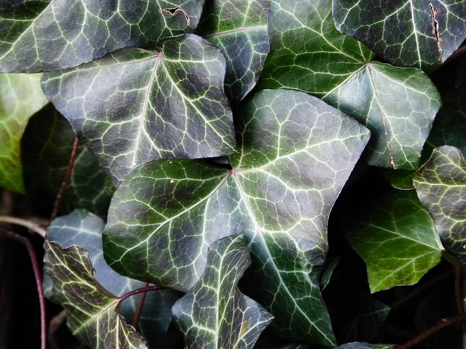 Ivy, Green, Nature, Wild, Climber, Plant, Close, Ranke