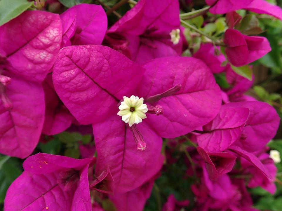 Flower, Tropical, Bougainvillea, Climber, Garden
