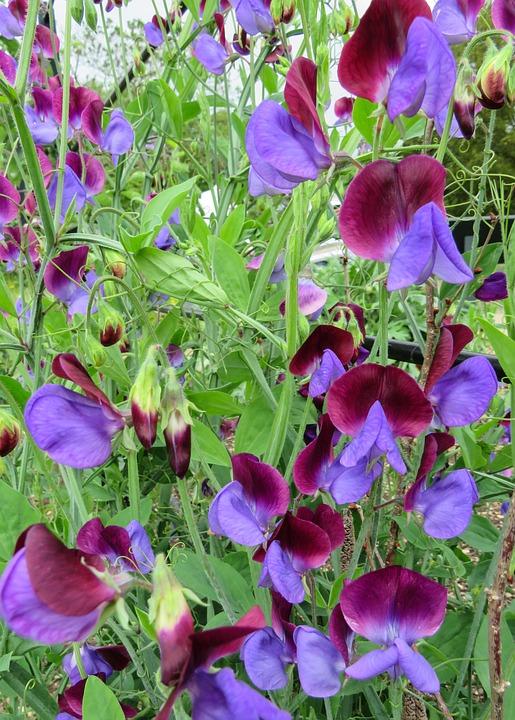 sweet pea flowers climbing purple english garden - English Flowers Garden