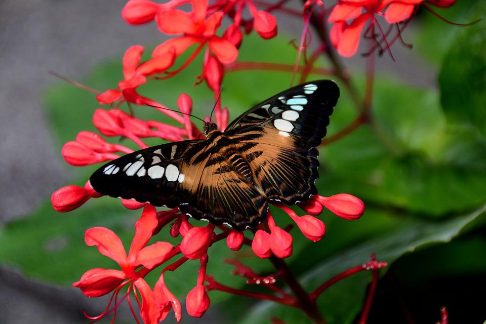 Brown, Clipper, Butterfly