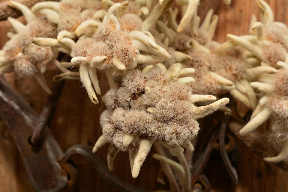 Edelweiss, Flower, Dried, Alpine Flower, Close
