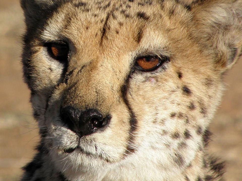 Cheetah, Animals, Close