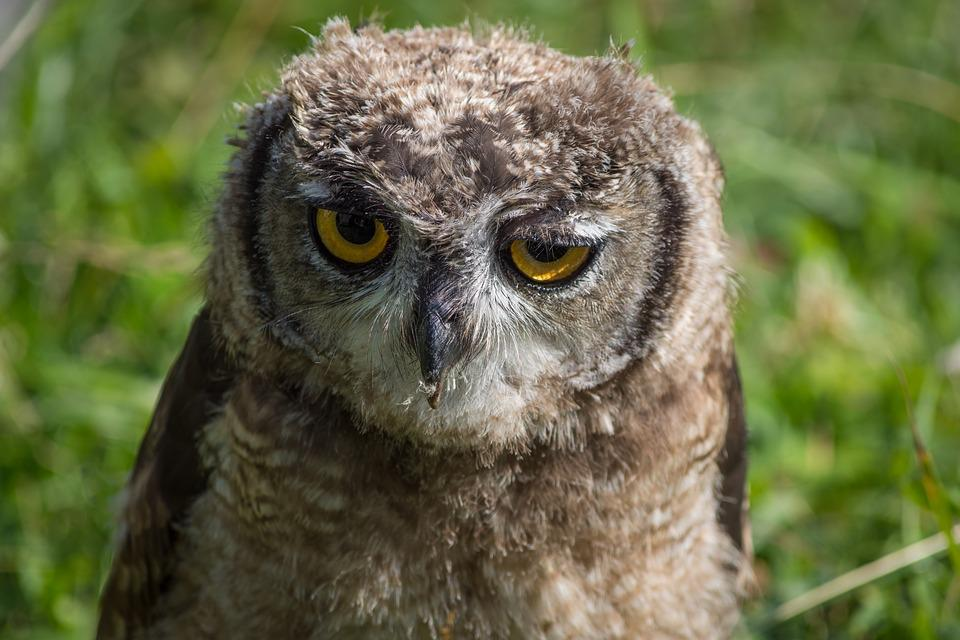 Owl, Close, Bird, Animals, Feather, Plumage