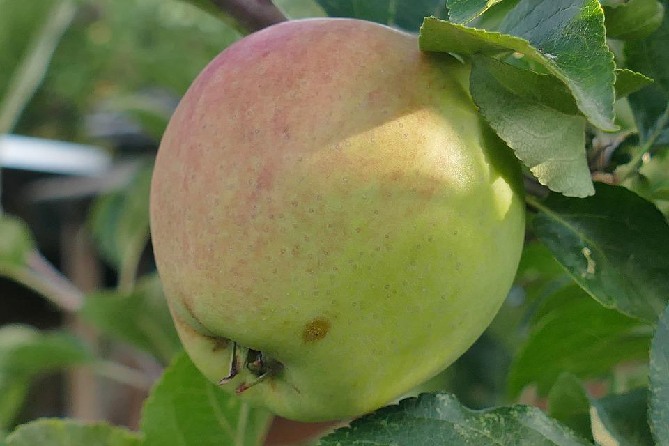 Apple, Macro, Close, Red Cheeks, Leaf, Branch, Nature