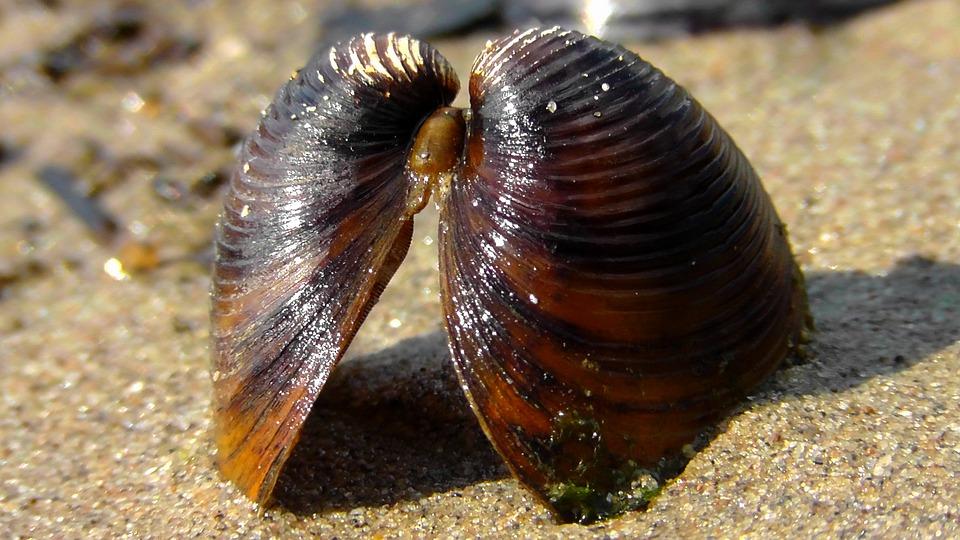 Mussels, Sea Freight, Flotsam, Beach, Shell, Close
