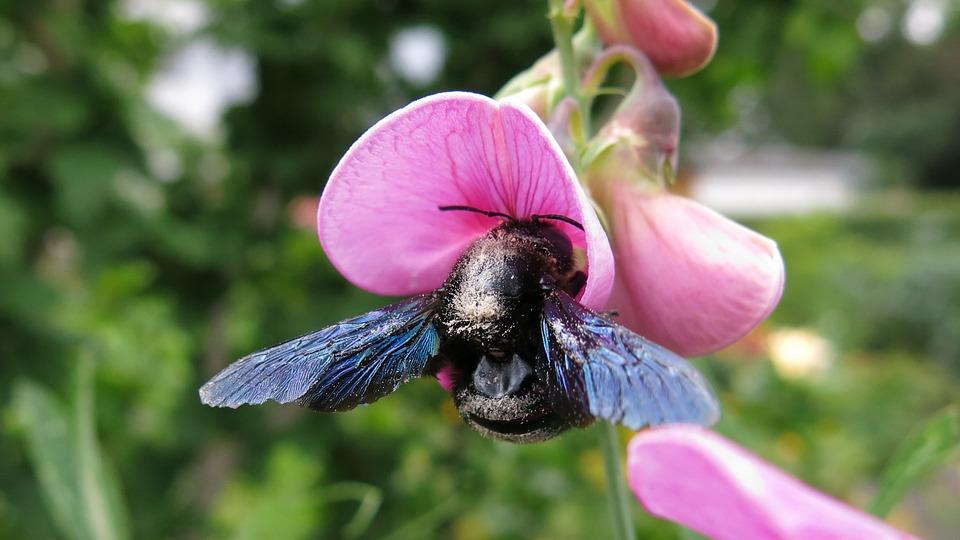 Carpenter Bee, Bee, Blossom, Bloom, Close, Leaf Pea