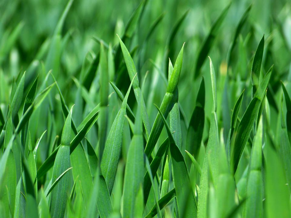 Grass, Blades Of Grass, Nature, Meadow, Close, Green