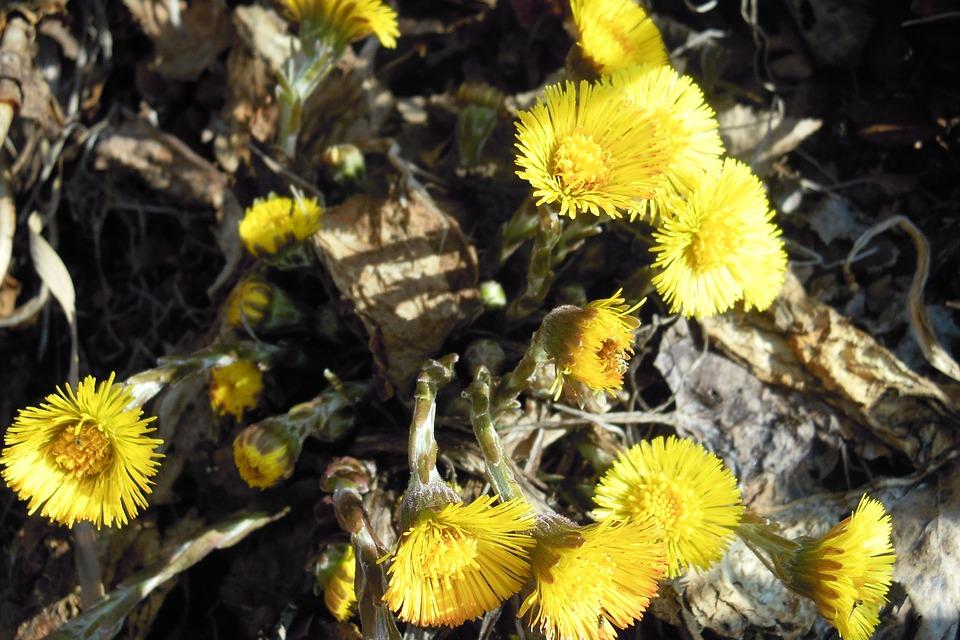 Tussilago Farfara, Close, Flower, Blossom, Bloom