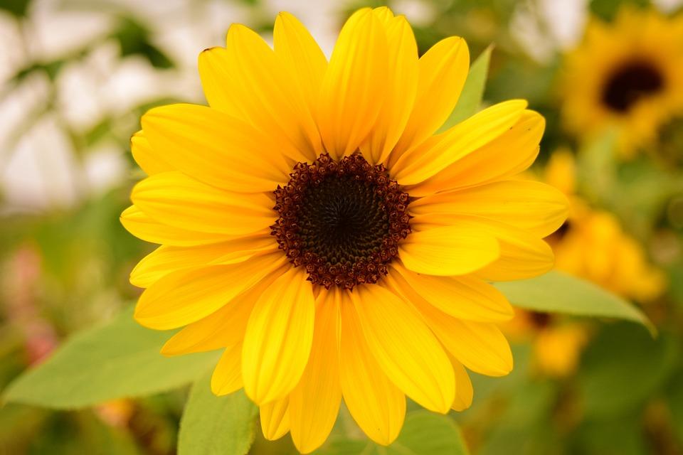 Sun Flower, Small, Blossom, Bloom, Close, Summer