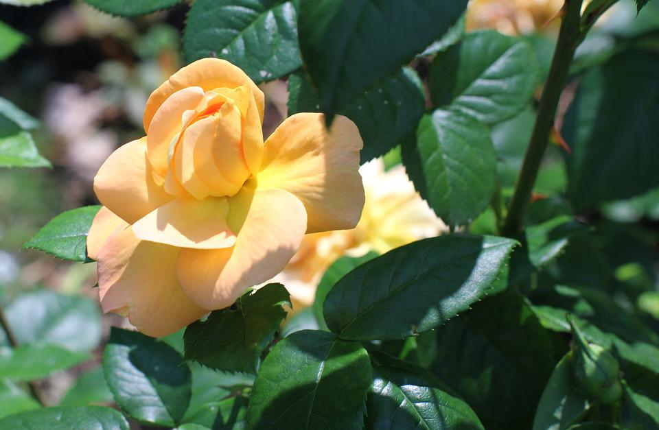 Blossom, Bloom, Rose, Close, Double Flower, Yellow