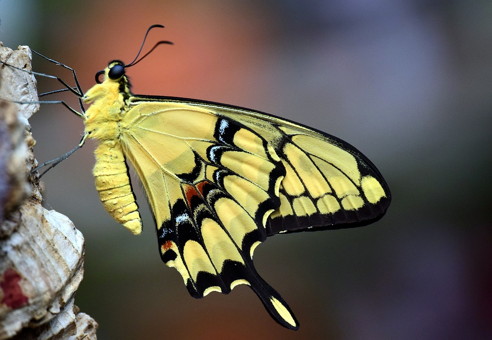 Dovetail, Papilio Machaon, Butterfly, Close, Insect