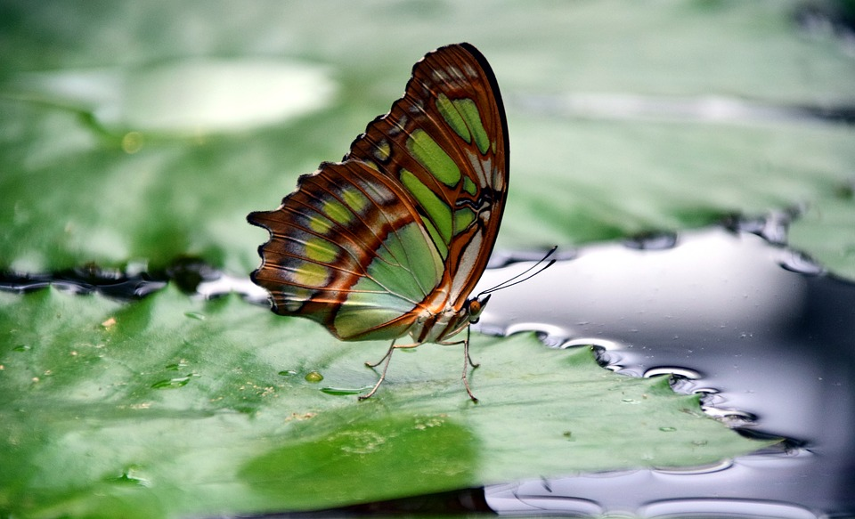 Malachite, Spirotea Steles, Butterfly Wings, Close