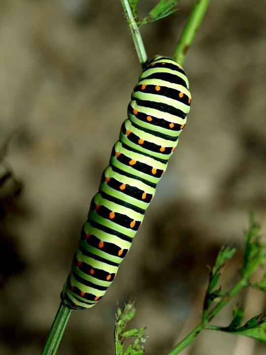 Caterpillar, Close, Green