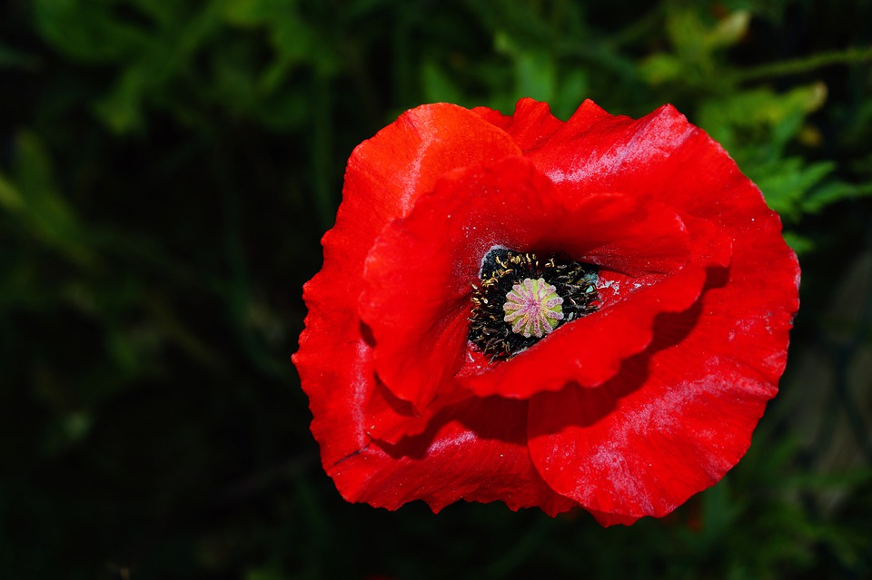 Poppy, Blossom, Bloom, Red, Close, Colorful