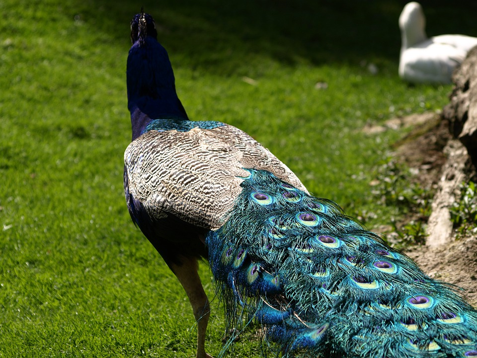 Peacock, Feather, Close, Color, Blue, Colorful