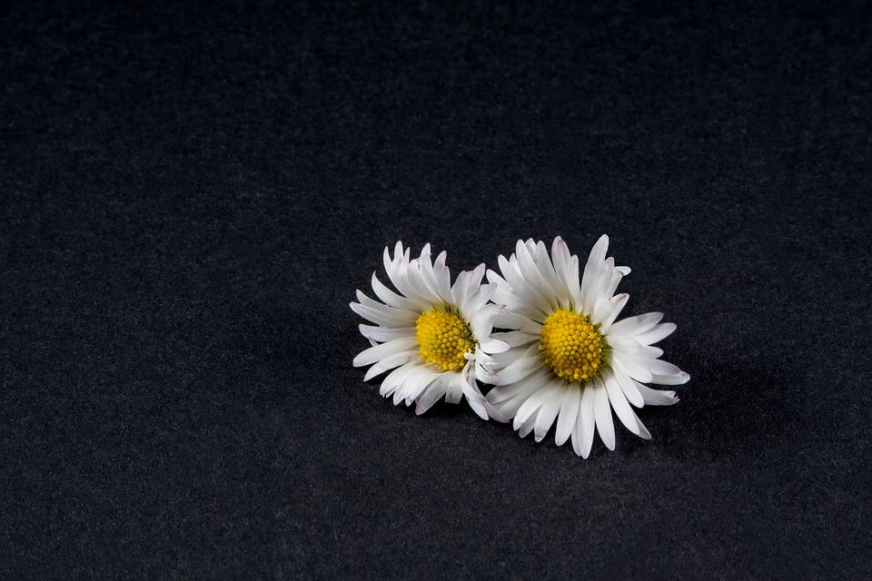 Daisy, Flower, Close, Still Life, Blossom, Bloom