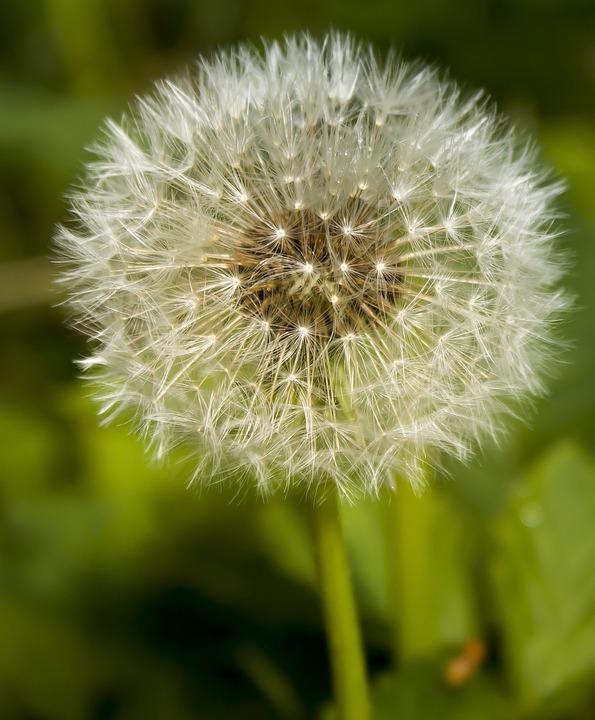 Dandelion, Wild Flower, Blossom, Bloom, Flower, Close