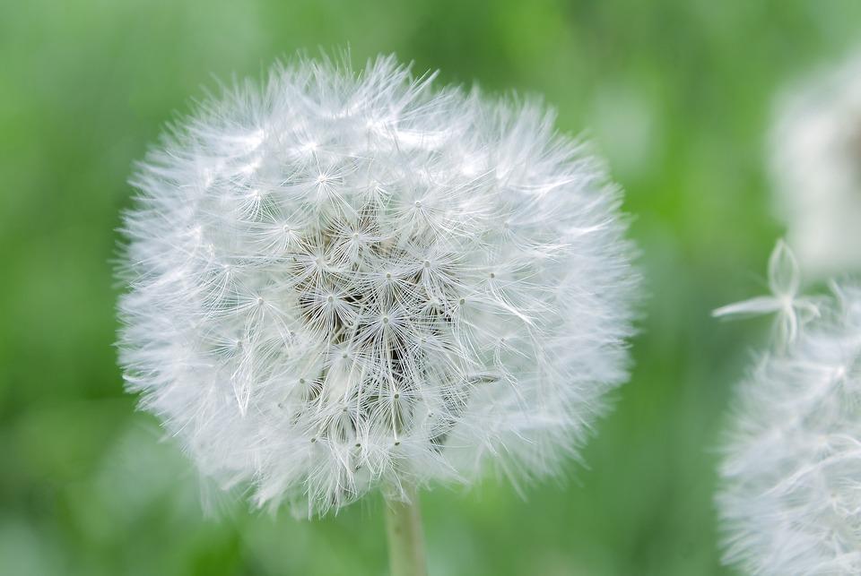 Dandelion, Flower, Pointed Flower, Close, Nature