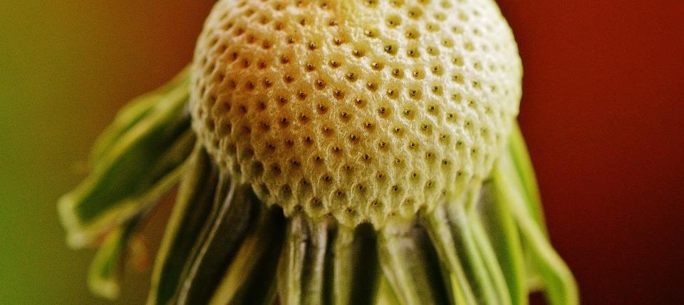 Dandelion, Plant, Nature, Flower, Close, Pointed Flower