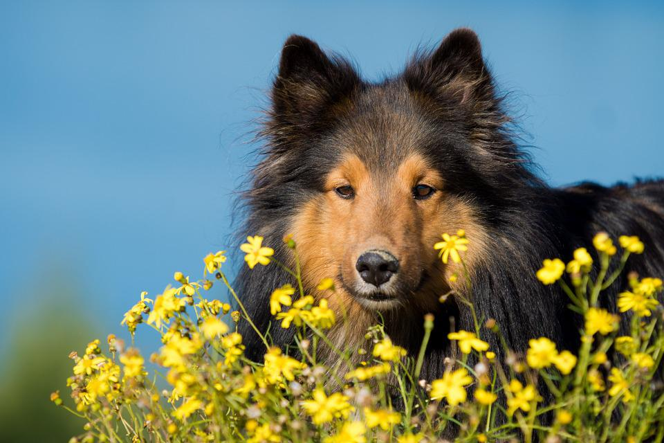 Dog, Sheltie, Flowers, Close