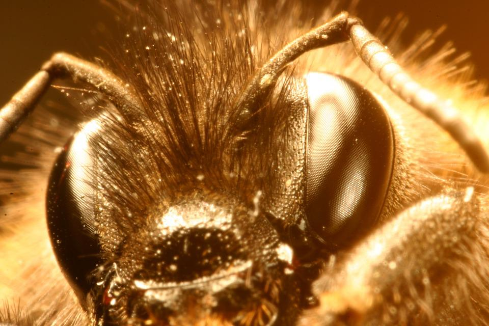 Macro, Eye, Hummel, Insect, Close, Head, Probe