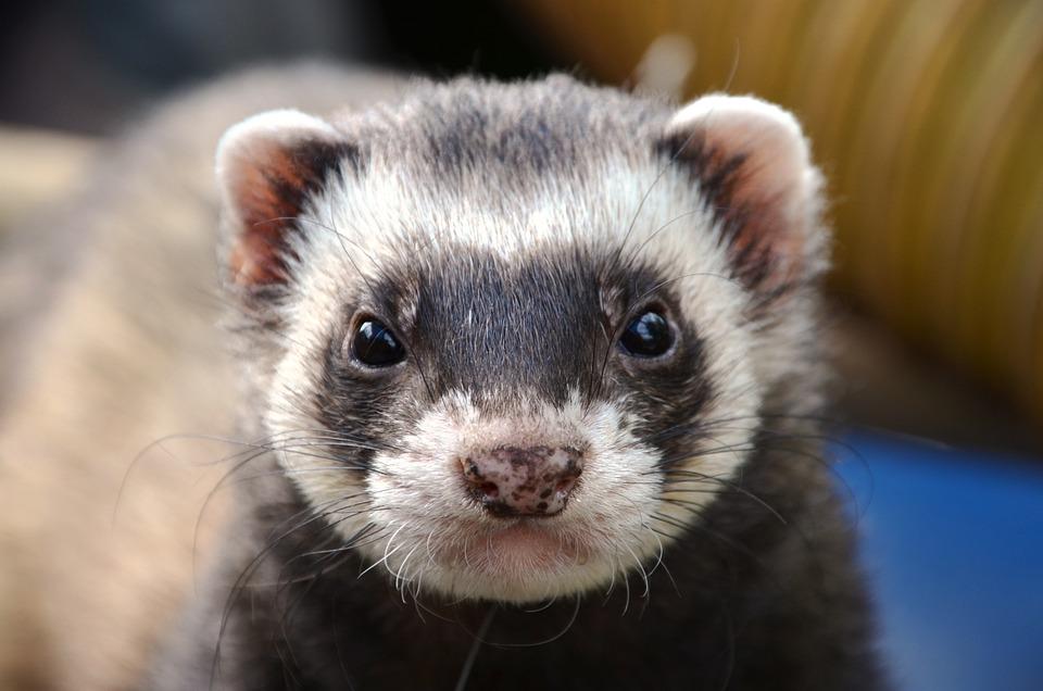 Ferret, Animal, Eyes, Close