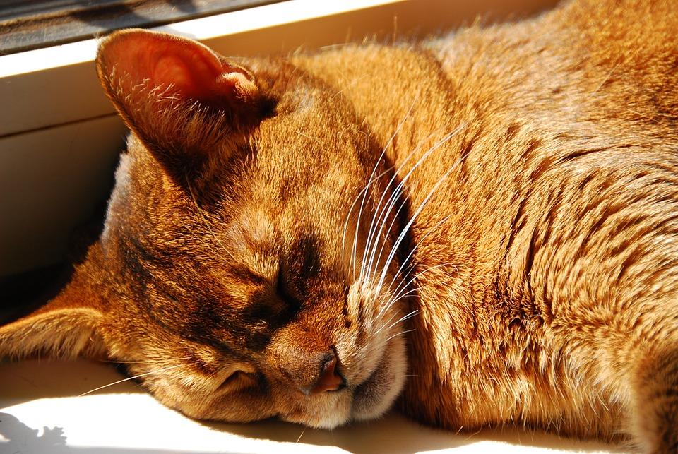Cat, Abyssinian, Breed Cat, Close, Face, Sleep, Sun