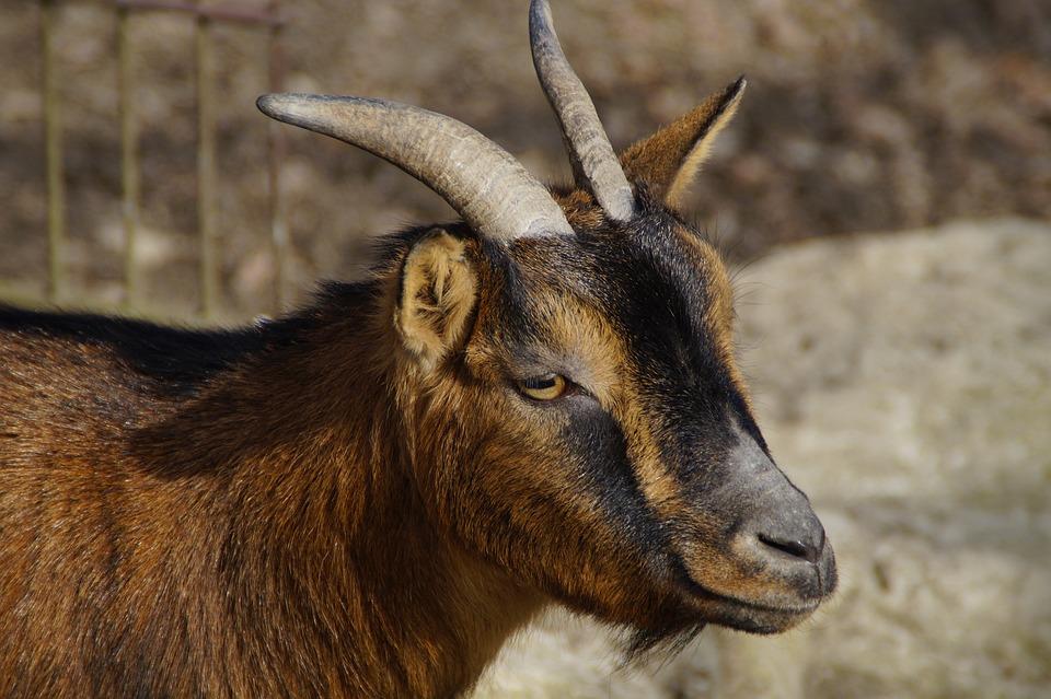 Goat, Head, Face, Horns, Side, Close, Prima Donna