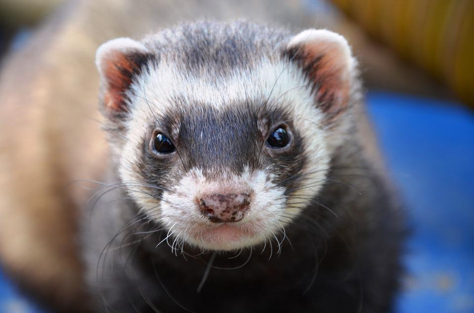 Ferret, Animal, Eyes, Close