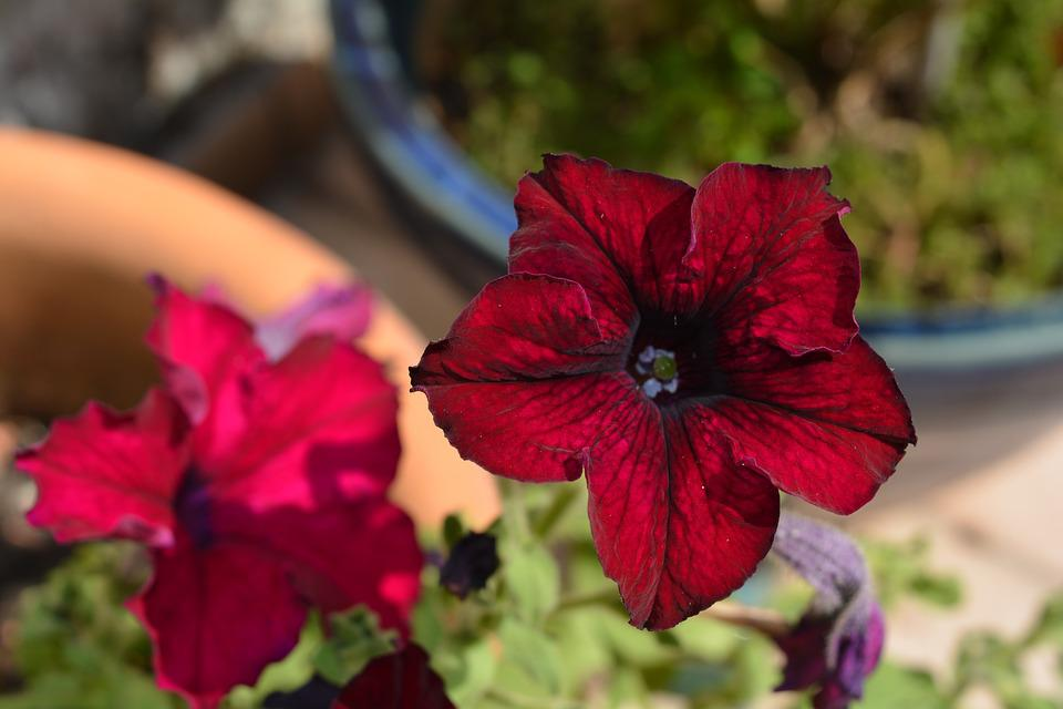 Flower, Petunia, Red, Blossom, Bloom, Close, Plant
