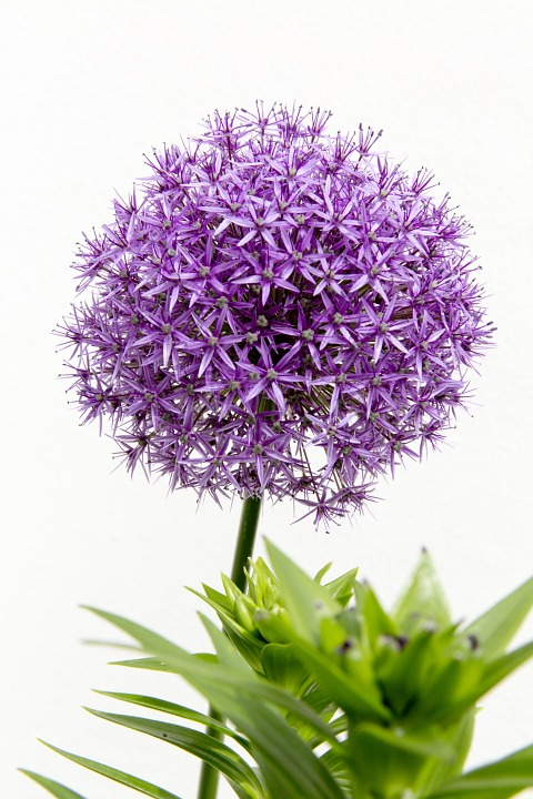 Flower, Blossom, Bloom, Close, Purple, Plant