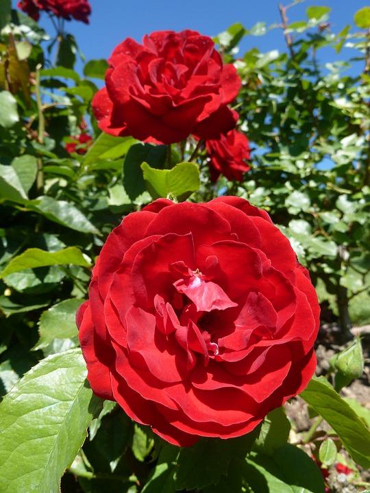 Bush, Flower, Rose, Red, Close