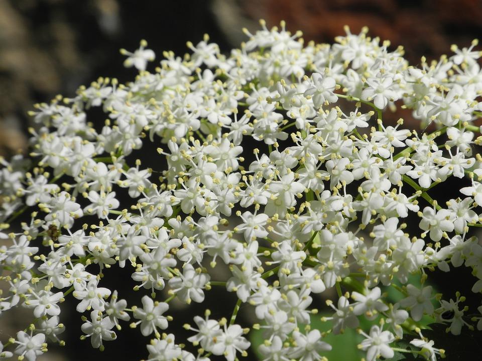 Hollunder, Blossom, Bloom, White, Close, Flower, Spring