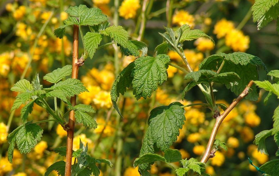 Bramble, Leaves, Plant, Flora, Close, Flowers