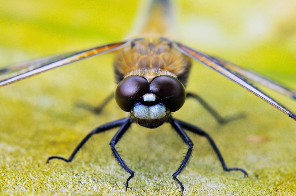Four-spotted Dragonfly, Animals, Dragonflies, Close