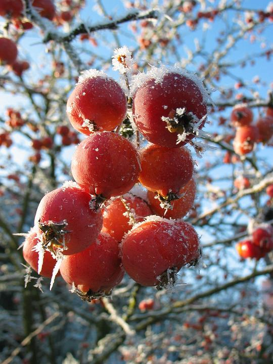 Berry, Frost, Winter, Frozen, Cold, Red, Close