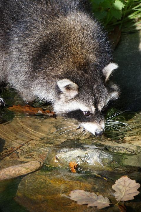 Raccoon, Marten, Water, Drinking, Animal, Close, Fur
